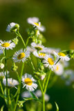 Marguerite in the summer garden Royalty Free Stock Image