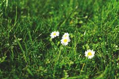Marguerite sur l'herbe verte images libres de droits