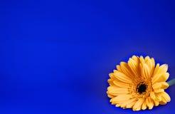 Marguerite sur le bleu photos libres de droits