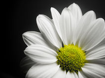 Marguerite sur le fond noir. Photos stock