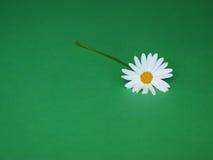 Marguerite sur le vert Image stock