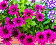 Marguerite violette Image stock