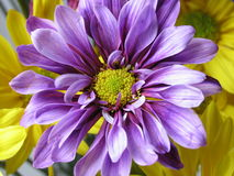 Marguerite violette Photo stock