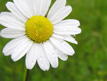 Marguerite with water drops. On the grass background (after rain stock image