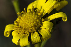 Marguerite and water drops Royalty Free Stock Photos