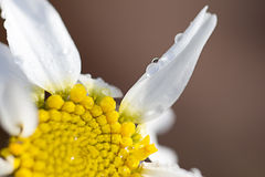 Marguerite and water drops Stock Image