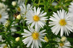 Marguerite Royalty Free Stock Photography