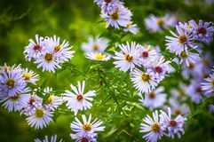 Marguerite Royalty Free Stock Photos