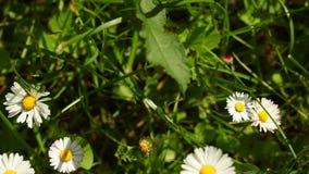 Marguerite Wildflowers de fleurs de marguerites comme fond de nature banque de vidéos