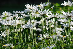 Margueritefield Royalty Free Stock Photo