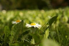 Marguerites à un arrière-plan d'herbe Photographie stock libre de droits