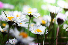 Marguerites. White beautiful flowers look like camomiles Stock Photography