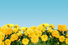 Marguerites Image libre de droits