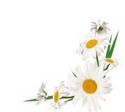 Marguerites Images stock