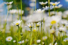 Marguerites. Garden full of marguerites. Picture taken during a spring sunny day royalty free stock images