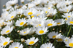 Marguerites Royalty Free Stock Image