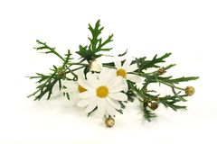 Marguerites Royalty Free Stock Photos
