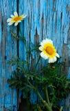 Marguerites Photos stock