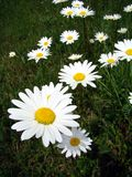 Marguerites stock images