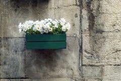 Marguerites Image stock