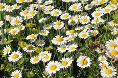 Marguerites. A beautiful green field covered in marguerites stock photography