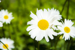 Marguerites Photos stock