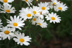 Marguerites Stock Photos
