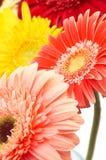 Marguerites Photo stock