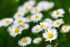 Marguerites Photo stock