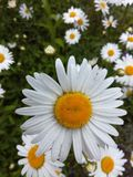 Marguerites Photo libre de droits