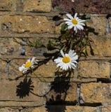 Marguerites Photographie stock