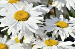 Marguerites abstraites Images stock