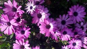 Marguerites africaines pourpres de belles fleurs photographie stock libre de droits