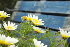 Marguerites (Argyranthemum) Royalty Free Stock Photo