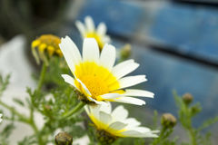 Marguerites (Argyranthemum) Stock Photo