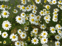 Marguerites assez blanches photo stock