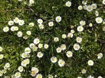 Marguerites au printemps 1 photos stock