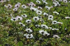 Marguerites au printemps Image libre de droits
