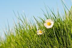 Marguerites au soleil Photo libre de droits