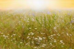 Marguerites au soleil images libres de droits