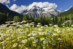 Marguerites au stationnement provincial de Robson de support, Canada Photos stock