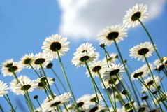 Marguerites avec le ciel bleu Photographie stock libre de droits