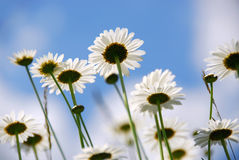 Marguerites blanches photo libre de droits