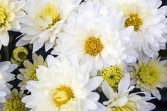 Marguerites blanches Photos stock