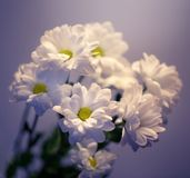 Marguerites blanches Photo stock