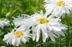 Marguerites blanches Photos libres de droits
