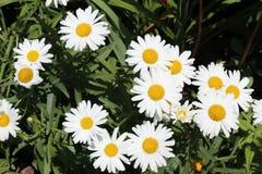 Marguerites blanches Images libres de droits