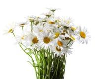 Marguerites blanches d'isolement sur le blanc Images stock