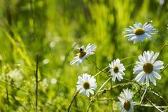 Marguerites blanches dans l'herbe au soleil dans le domaine d'été Images stock