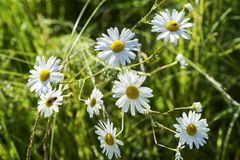 Marguerites blanches dans l'herbe au soleil dans le domaine d'été Photographie stock